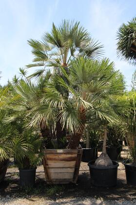 Chamaerops_humilis_palm_36in_full