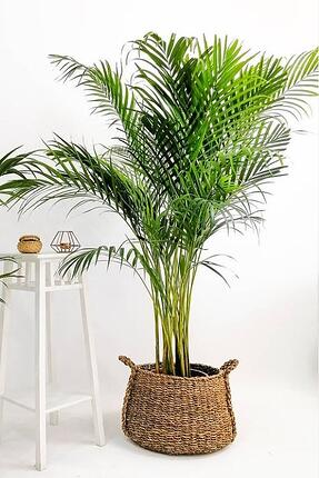 Kentia house plant
