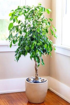 Ficus interior plant